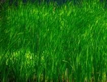 grass-11